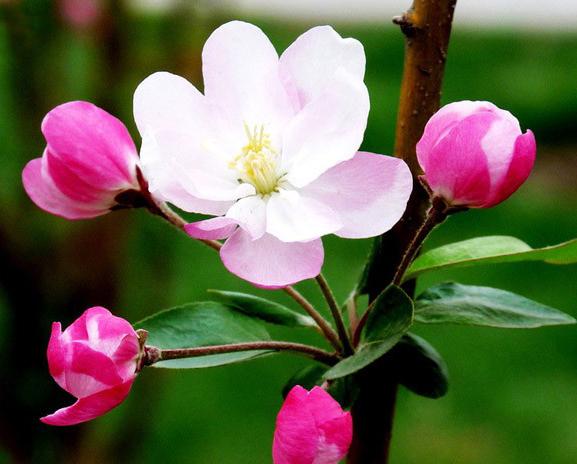 海棠花的注意事项和养殖方法