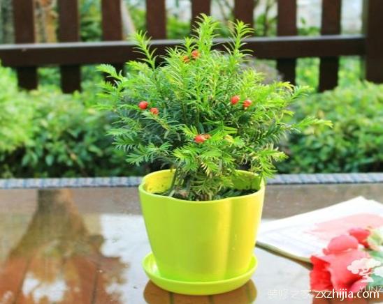 红豆杉怎么养