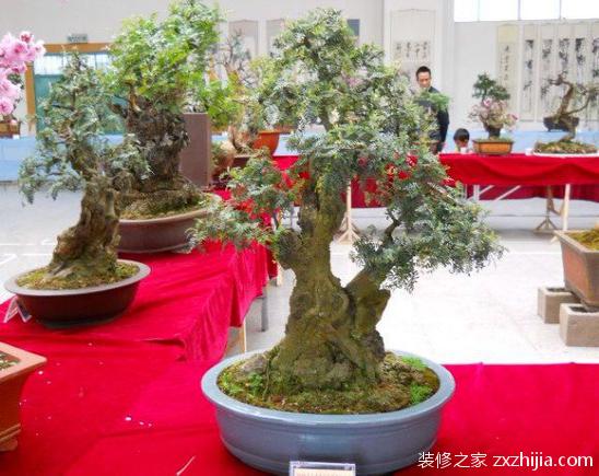 如何养殖盆栽清香木?盆栽清香木的养殖方法
