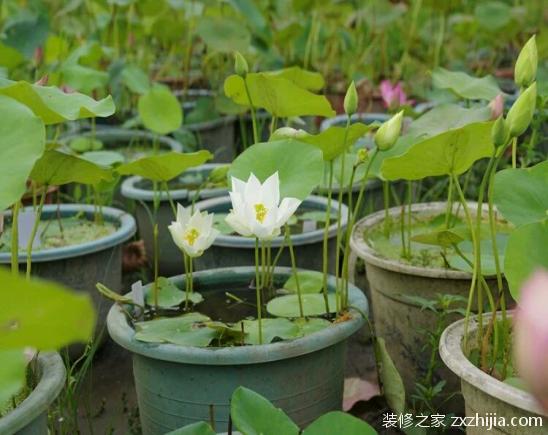 碗莲的种植方法大全