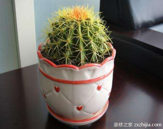 盆栽仙人球怎么养