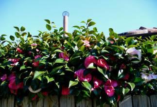 茶花的养殖方法 茶花养殖注意事项