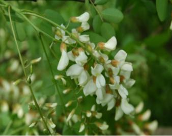 洋槐花有毒吗?洋槐花的功效与作用有哪些?