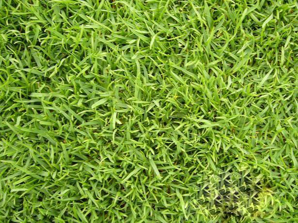 地毯草种子厂家介绍,地毯草常识介绍