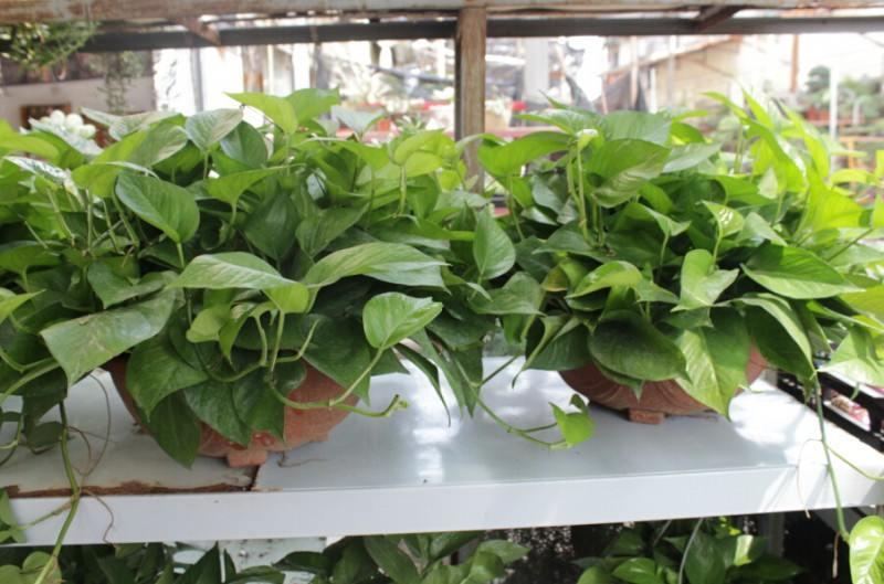 净化空气的室内植物  净化空气植物摆放风水