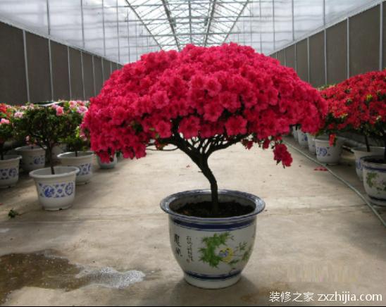 盆栽杜鹃花怎么养殖多开花图片